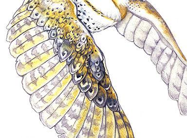 Milo: Australian Masked Barn Owl